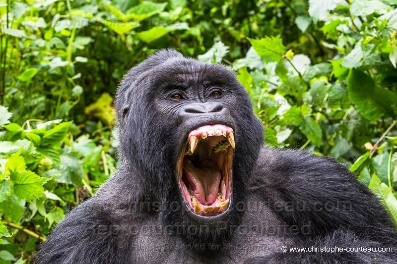 Extrem Gorille de montagne - Dos argenté - Christophe Courteau Photographe FM41