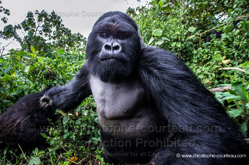 Extrem Christophe Courteau Gorille de montagne - Dos argenté Christophe  FM41