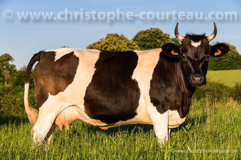 Vache de race Bretonne Pie Noir - Christophe Courteau Photographe