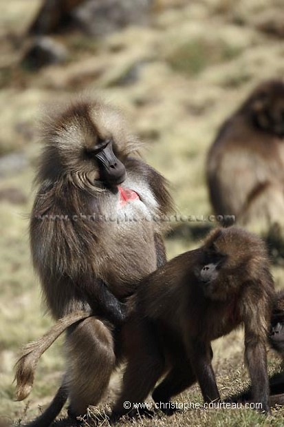 Baboons Mating Images & Pictures - Becuo