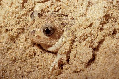 Pélobate cultripède. Enfouissement dans le sable